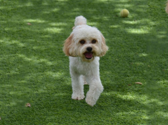 Artificial Grass Photos: Lawn Services Eastgate, Washington,  Dog Kennels